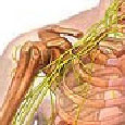 Nervous System Illustration